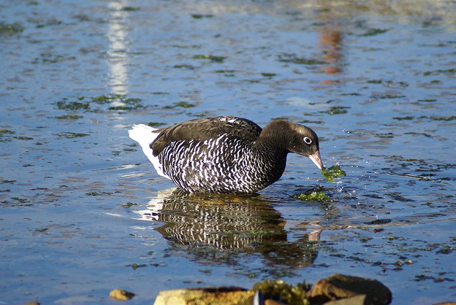 Female Kelp Goose