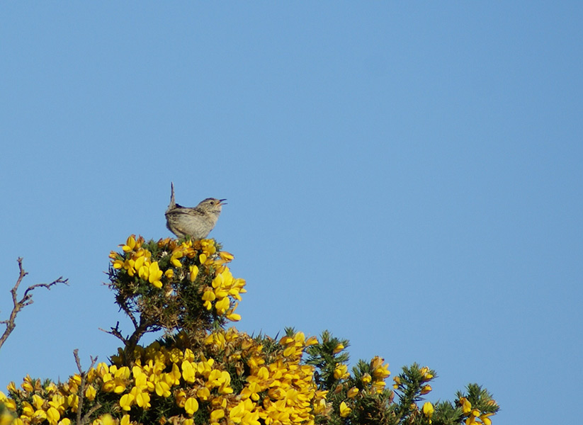 Grass Wren on Gorse