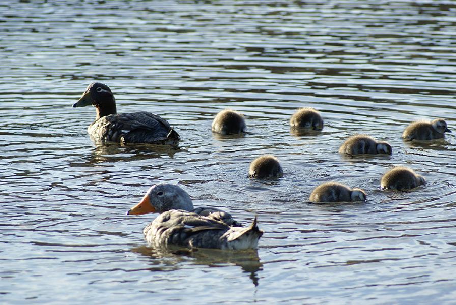 Logger Ducks