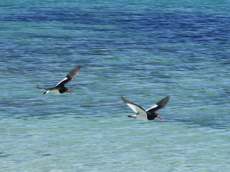 Magellanic Oyster Catchers