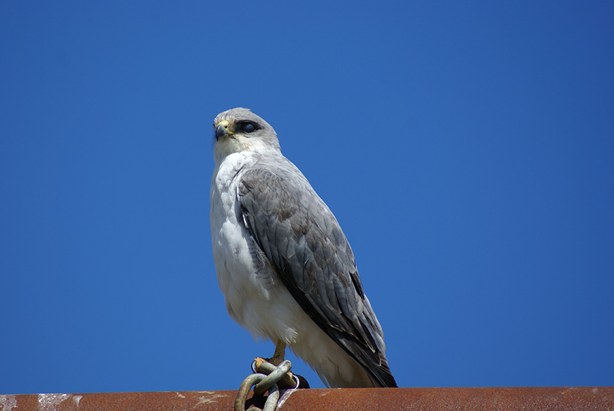 Male Variable Hawk