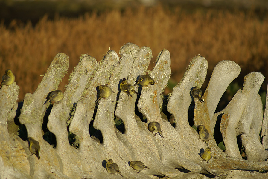 Siskins on Whale Skeleton