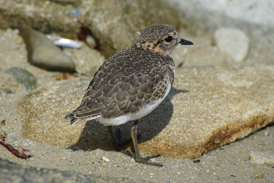 Young Two Banded Plover